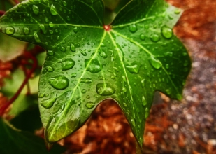 Dew Drop Ivy