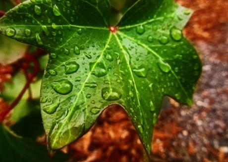 Dew Drop Ivy