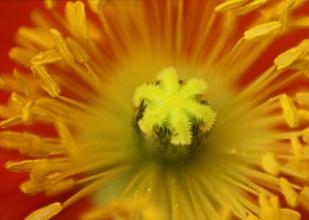 Poppy Burst