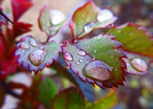 Rain on Rose Bush