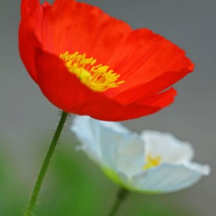 Spring Poppy's