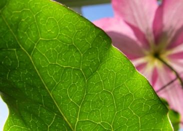 Clematis Leaf