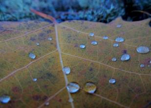 Autumn Dew #1