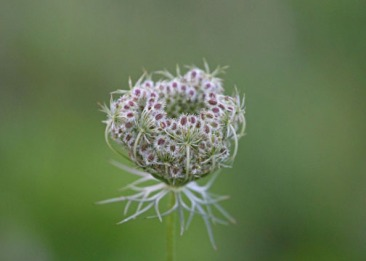 Queen Ann's Lace Spring