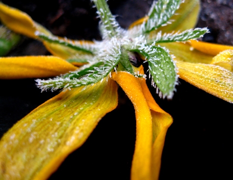 Frosted Black Eyed Susan