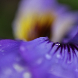 Viola in rain