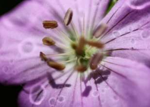 Rain Halo on Wild Geranium