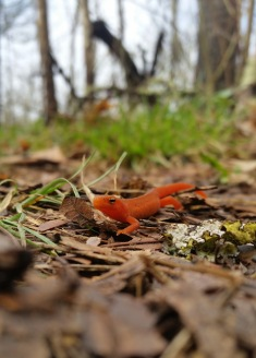 #NC1 Red Eft - North Carolina