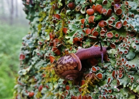 #TN1 Land Snail - Tennessee