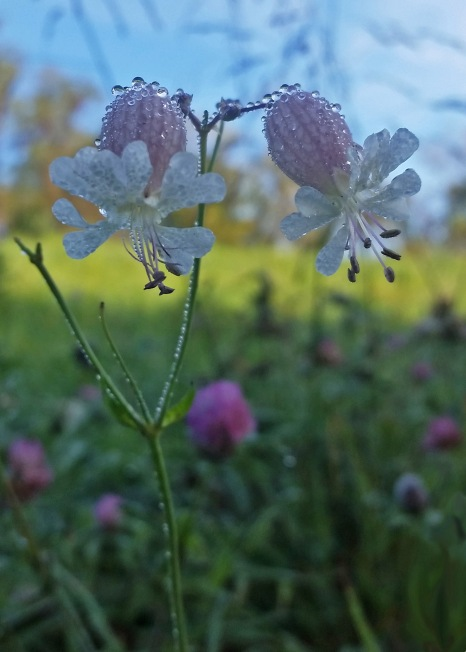 #PA1 Bladder Campion - Pennsylvania