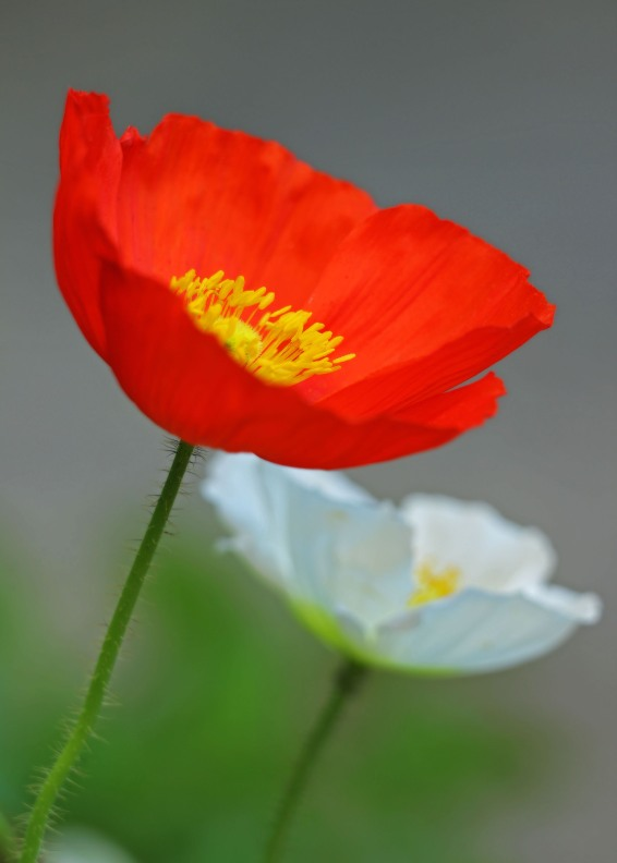 #PC4 - Poppies